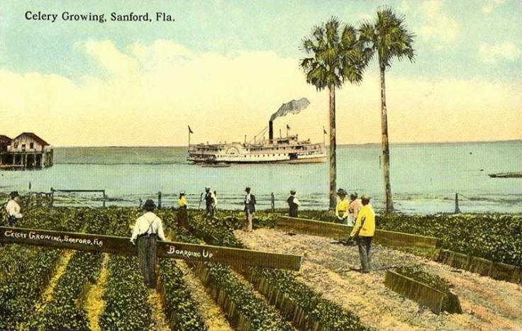 Celery_Growing,_Sanford,_FL